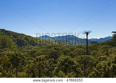 Araucaria Tree Forest