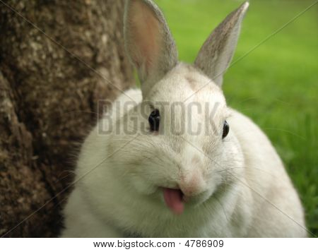 Rabbit Sticking Out His Tongue