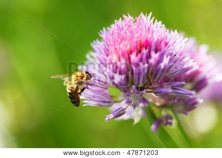 Honey bee on a beautiful pink flower outdoors