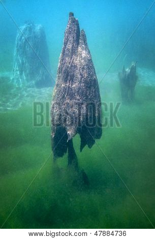 Cypress Tree Stumps Underwater
