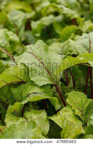Mangold in the garden