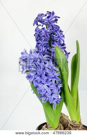 Hyacinth flower