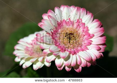 Bright Colored Pink And White Gerber Daisies