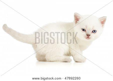 winking white kitten