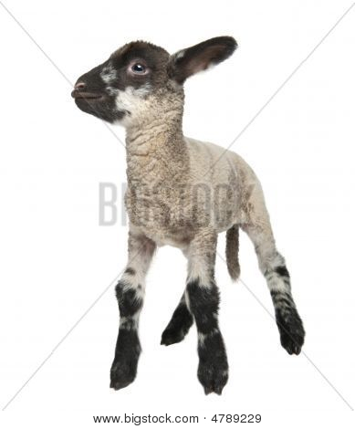 Black And White Lamb (15 Days Old)