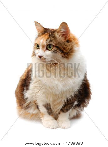 Red-haired Cat