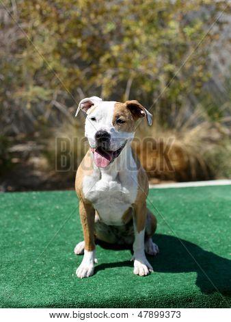 Outdoor shot of patient pitbull