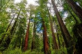 pic of sequoia-trees  - Sequoia Trees in Big Basin Redwoods State Park - JPG