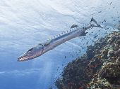 picture of barracuda  - Great barracuda swimming on an underwater tropical coral reef - JPG