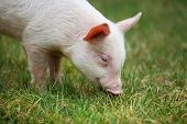 stock photo of animal husbandry  - Small piglet grazing in the middle of meadow - JPG