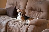 pic of sneaky  - A sneaky dog caught sleeping on the living room sofa - JPG