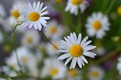 stock photo of chamomile  - German Chamomile flower closeup  - JPG