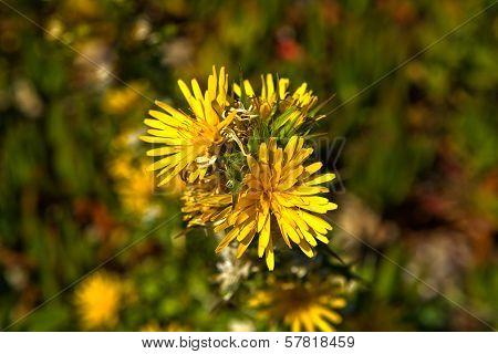 Cape Espichel Yelow Flora
