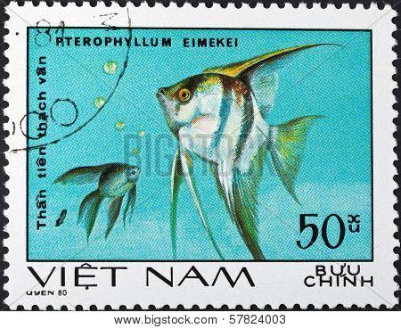 Pterophyllum Eimekei - Tropical Angelfish
