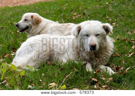 Shepherd Dogs Couple
