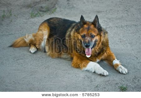 Dog With Bandaged Paw