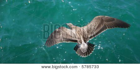Seagull Above Ocean