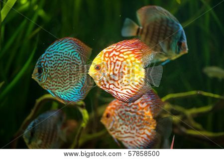 Flock of colorful Discus