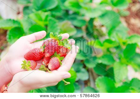 Strawberry On Hand At Chiangmai