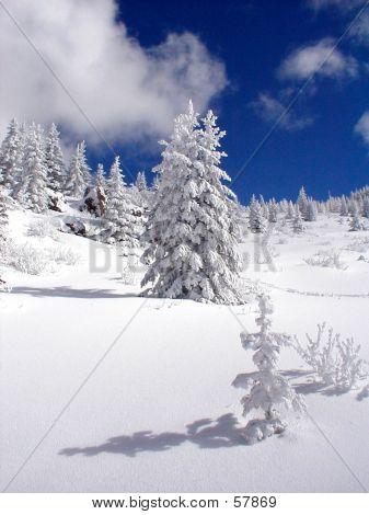 Seedling nevado
