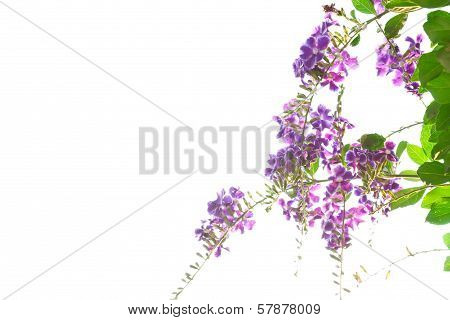 Duranta, Golden Dewdrop, Pigeon Berry Isolated On White