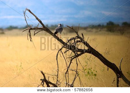 Dark Chanting Goshawk