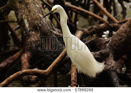 Snowy Egret (Egretta thula) Rosario Archipelago Cartagena de Indias Colombia South America