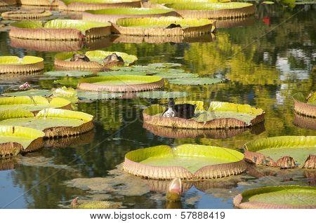 Ducks Floating on Lotus Leaves