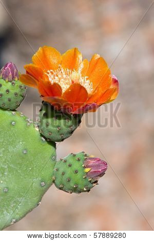 Bright Yellow And Orange Flower Of Prickly Pear (chollas) Cactus