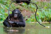 stock photo of chimp  - Bonobo in the water with branch - JPG