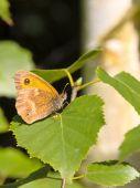 pic of gatekeeper  - a gatekeeper butterfly pyronia tithonus on a leaf - JPG
