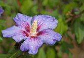 stock photo of hibiscus flower  - This single blue hibiscus  - JPG