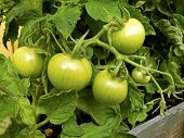 picture of tomato plant  - Tomato plant with green unripe tomatoes in summer - JPG