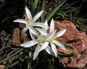 picture of sand lilies  - Close up of Star Lilies  - JPG