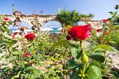 stock photo of royal botanic gardens  - Corner of botanic garden with red roses and sea - JPG