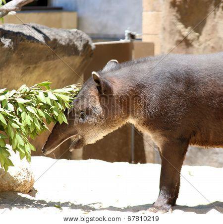 Brazilian tapir, Tapirus terrestris south American tapir