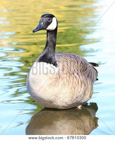 Canadian Goose standing in water