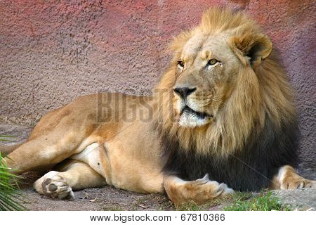 Lion laying down in grass