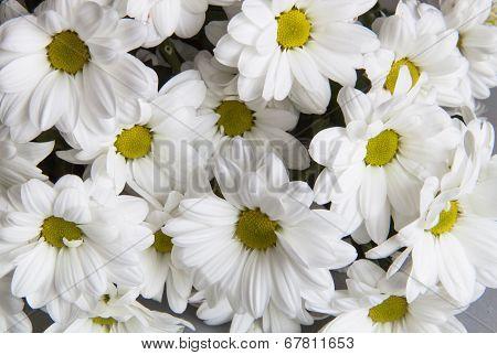 Background Of Chrysanthemums