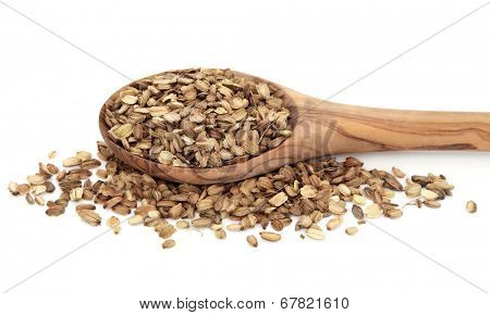Angelica herb seed used in chinese herbal medicine in a wooden spoon over white background.