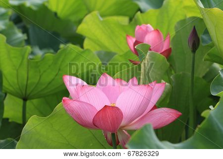 Lotus flowers and bud