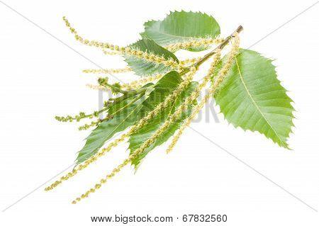 Chestuts Branch