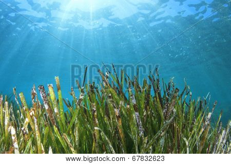 Seaweed sea grass underwater green and blue