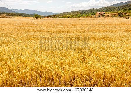 Field Of Golden Oat