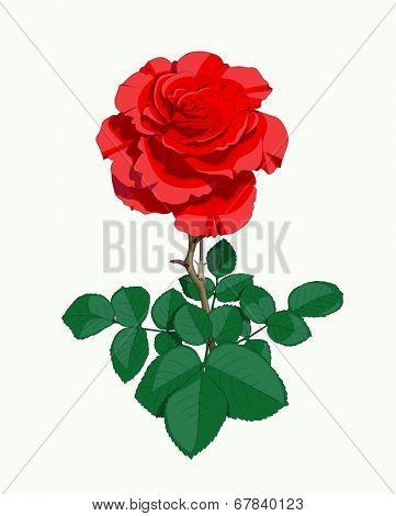 Red rose. Eps10 vector illustration