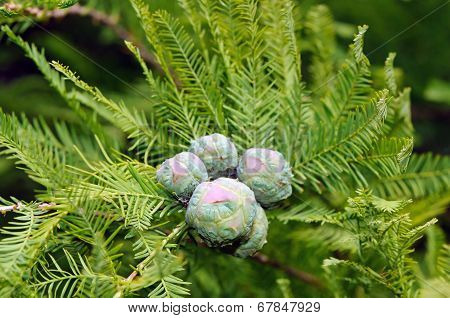 Cones And Foliage Of Bald Cypress (taxodium Distichum)
