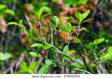 Young Plant Of Blue Whortleberry (vaccinium Myrtillus)