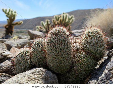 Fishhook Cactus Closeup