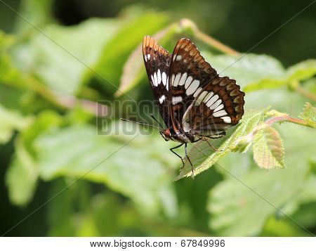 Lorquin's Admiral on a Leaf