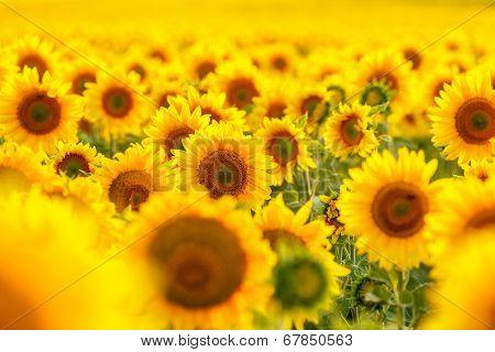 Sunflower Field, Backlit.
